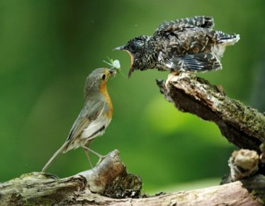 Cuckoo chick being fed. Photo by Robin Artur-Tabor