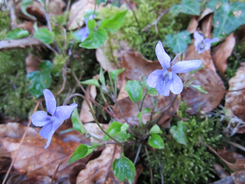 Wood Violet at Ballybeg Woods | Jean Ryan