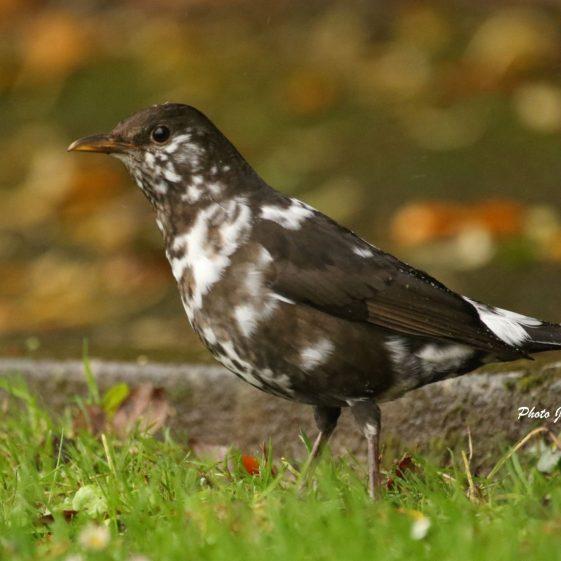 Albino Blackbird Oct 2020 at Clarecastle Quay. A rare sighting. | John Power