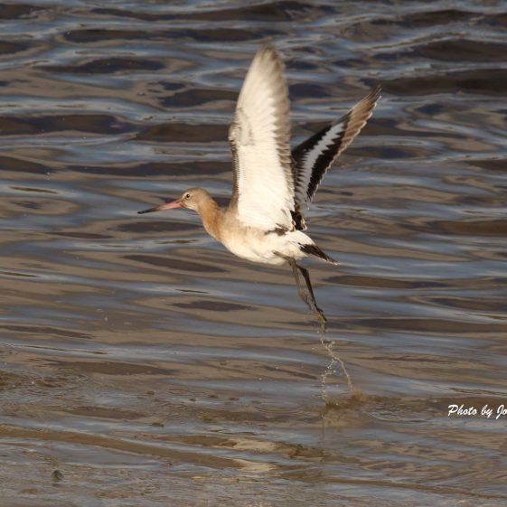 Black Tailed Godwit taking flight  | John Power