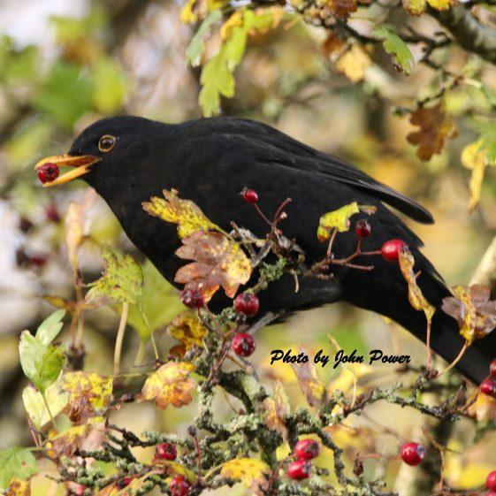 Blackbird eating Haw  | John Power