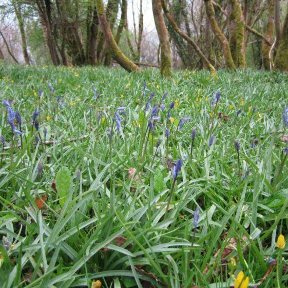 Bluebell wood at Killone | Jean Ryan