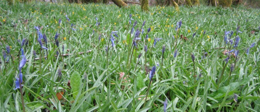 Bluebells at Killone