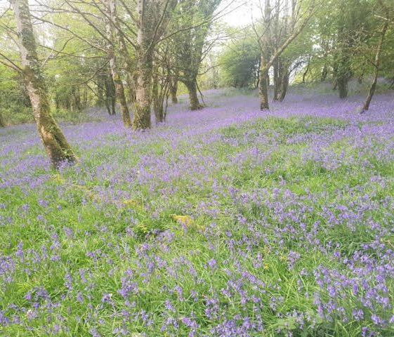 Bluebells at Newhall | Joan McCarthy