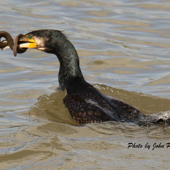 Cormorant with eel - July 2020 at Clarecastle Quay | John Power