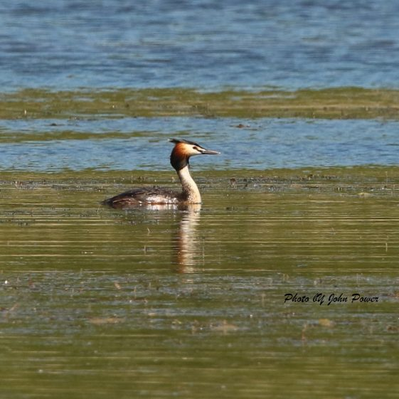 Crested Grebe  in the Parish - May 2020 | John Power