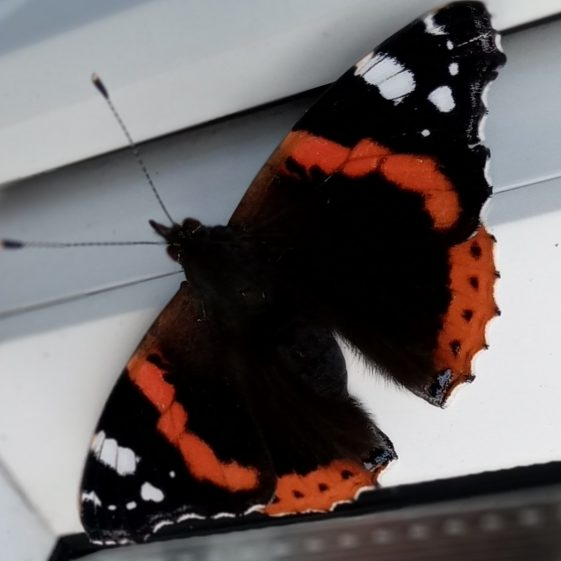 Red Admiral Butterfly | Eric Shaw