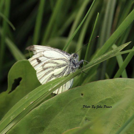 Green Veined White Butterfly | John Power