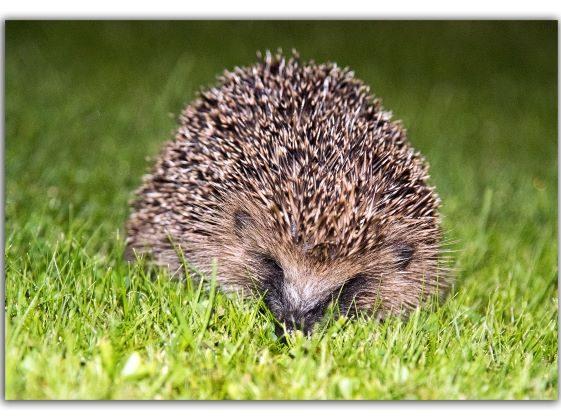 Hedgehog in Primrose Gardens | Brendan McEnery