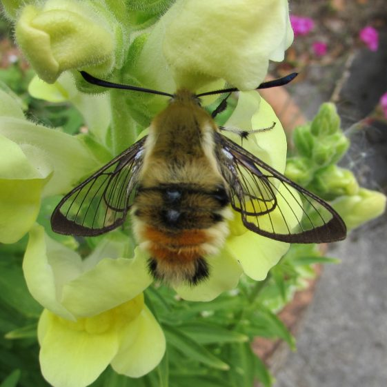 Narrow bordered bee hawkmoth. Taken in a back garden in Clarecastle. May 2020 | Eric Shaw