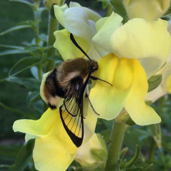 Narrow bordered bee hawkmoth in Clarecastle backgarden. May 2020 | Jean Ryan