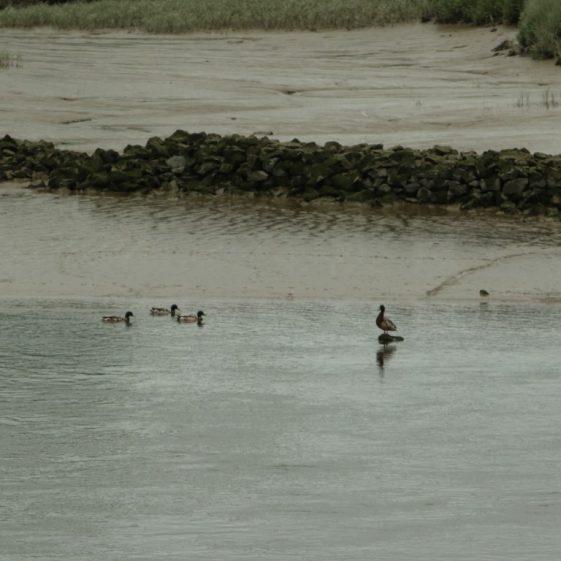 Mallard Ducks at Clarecastle Quay | John Power