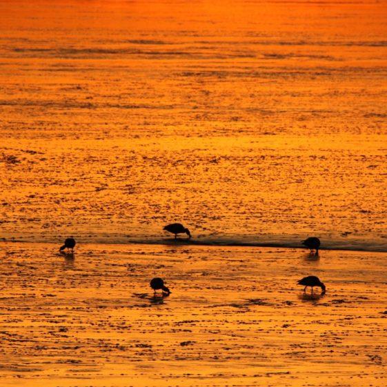 Shellduck Grazing the Mud at Islandavanna after Sunset  | John Power