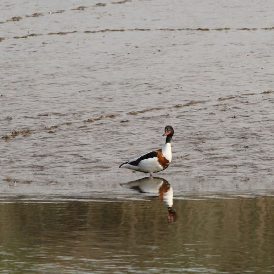Shelduck on the mudflats off the Quay in Clarecastle | John Power