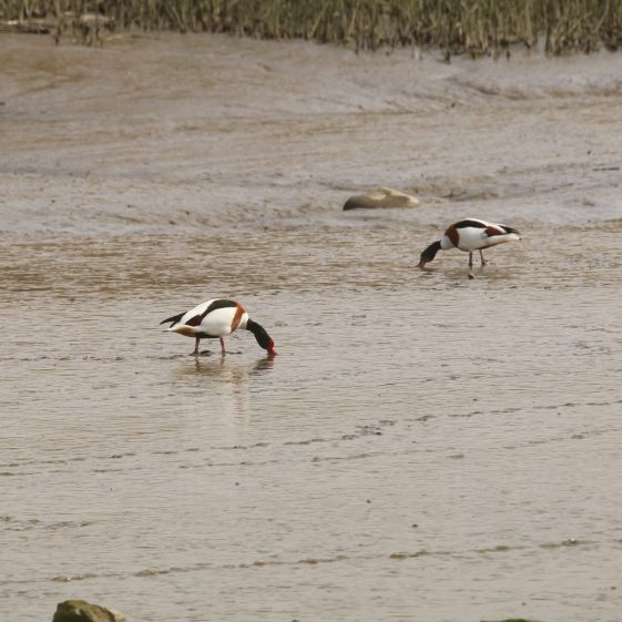Shellduck Grazing Mud-Flats off the Quay in Clarecastle | John Power