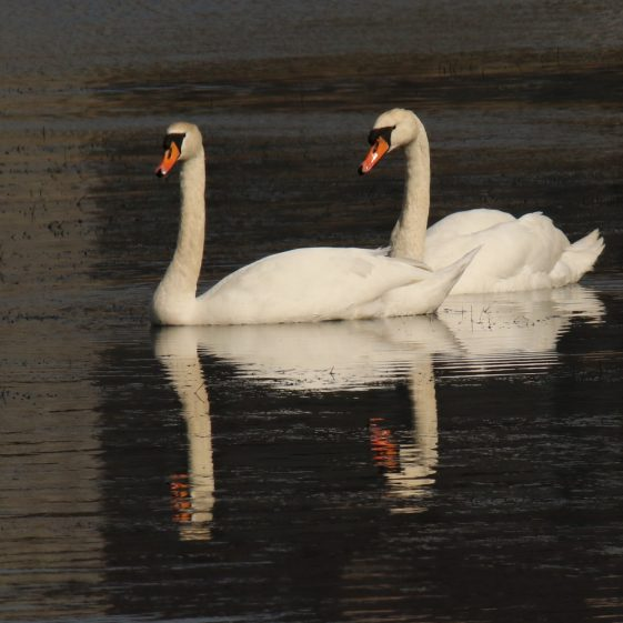 Swan Reflections on the Fergus off the Quay in Clarecastle | John Power