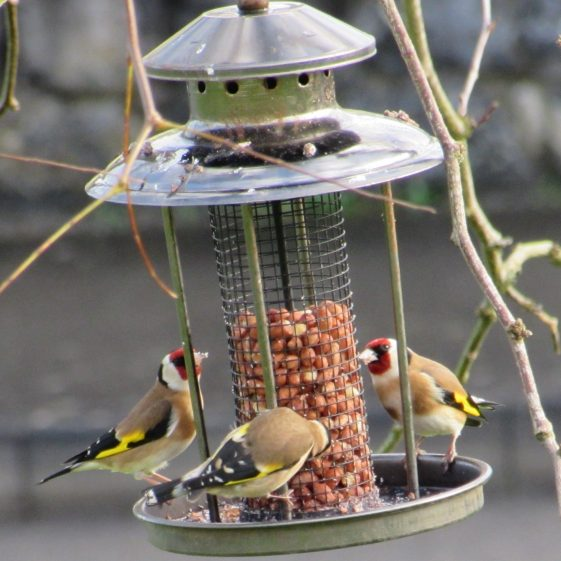 Goldfinches feeding on 1 February 2020 at Creggaunnahilla | Eric Shaw