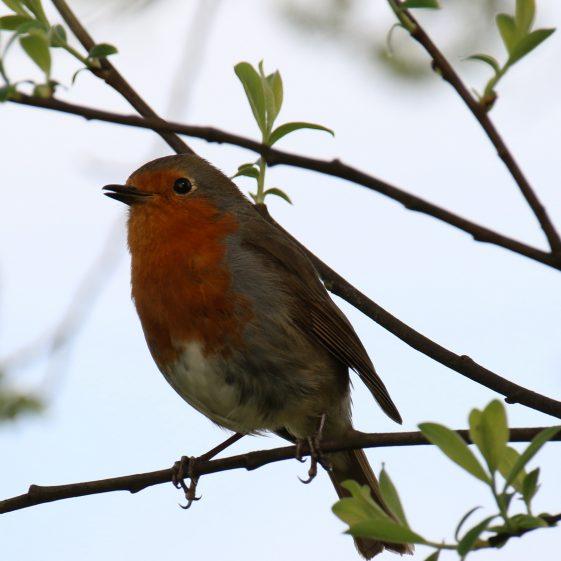 Robin at Clarecastle Quay | John Power