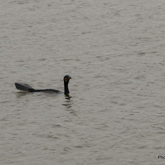 Cormorant at Clarecastle Quay | John Power