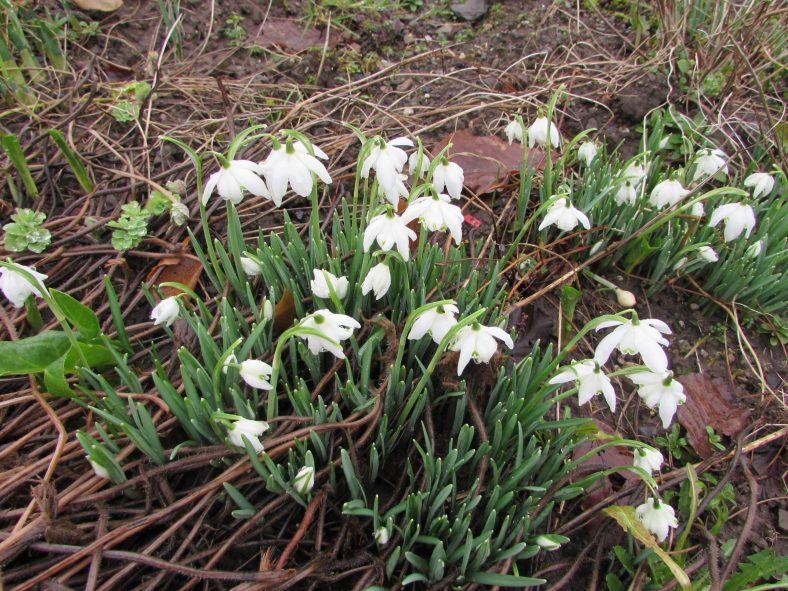 Snowdrops in Burke's Crag - a sure sign of Spring. | Eric Shaw