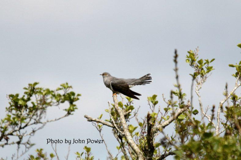 Islandavanna Cuckoo    John Power