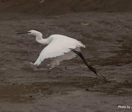 Little Egret at Islandavanna Nov 2020 | John Power