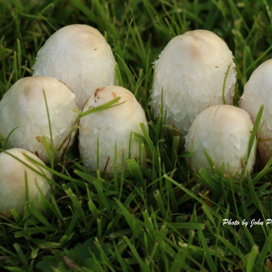 Mushrooms in the lawn  | John Power