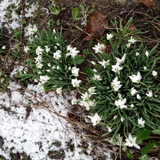 Snowdrops and snow in a Clarecastle garden in February 2021 | Eric Shaw