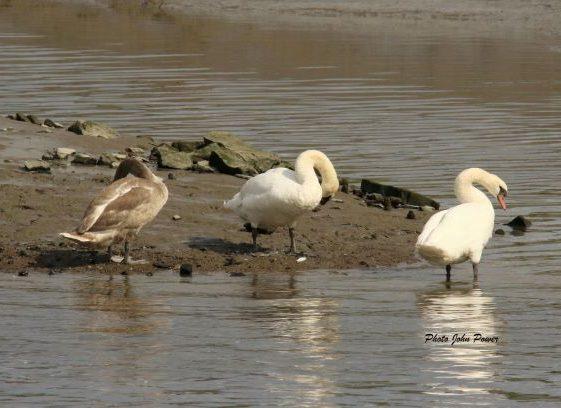 Swans at Clarecastle Quay Sept 2020 | John Power