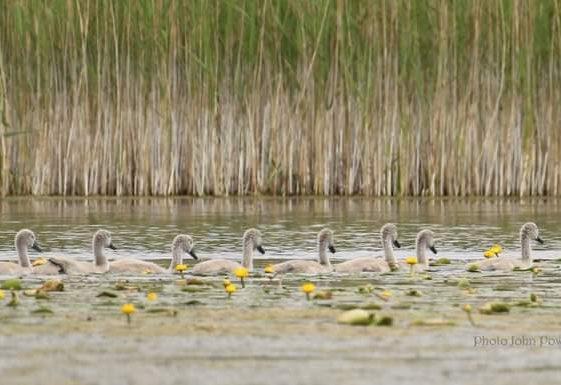Cygnets at Ballybeg Lake. Mar 2021 | John Power