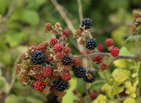 Ripening Blackberries  at the Quay - Sept 2020 | John Power