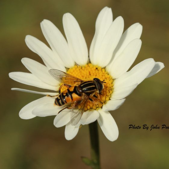 Wasp taken on an oxeye daisy on the New Quay, Clarecastle - May 2020 | John Power