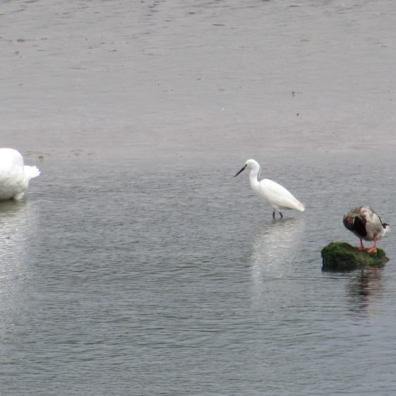 Wildlife at Clarecastle Quay - a swan, Little Egret and a Mallard Drake | Eric Shaw