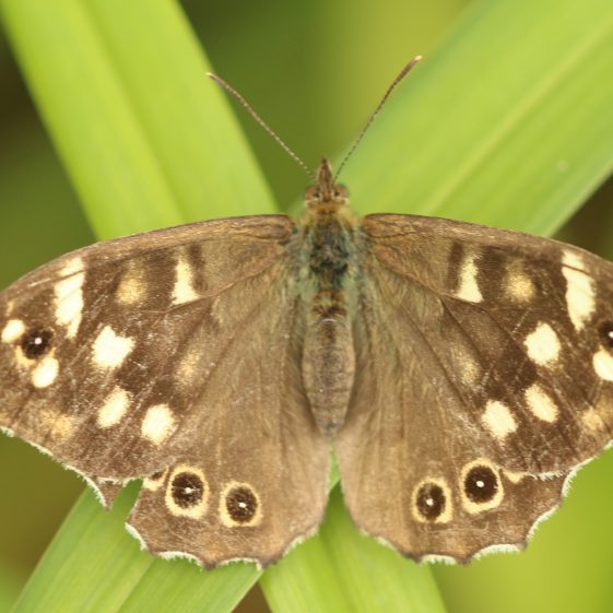 A Speckled Wood Butterfly | John Power