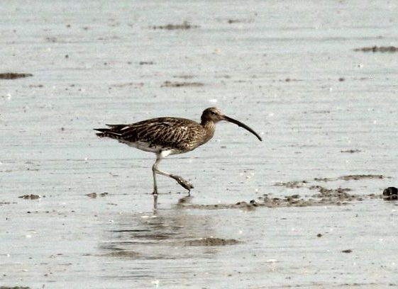 Curlew  on the Mudflats at Islandavanna - Sept 2020 | John Power