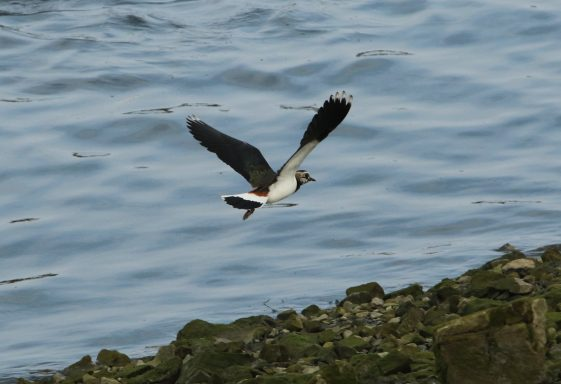 Lapwing at Clarecastle Quay