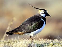 Lapwing | image purchased from iStock
