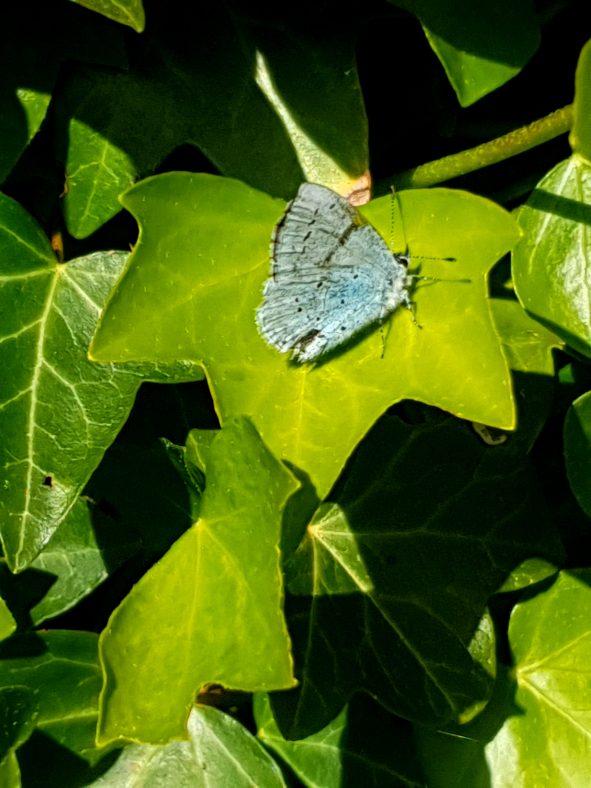 Holly-Blue Butterfly   Joan McCarthy