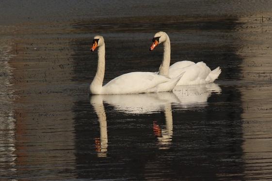 Swan Reflections at Clarecastle Quay | John Power
