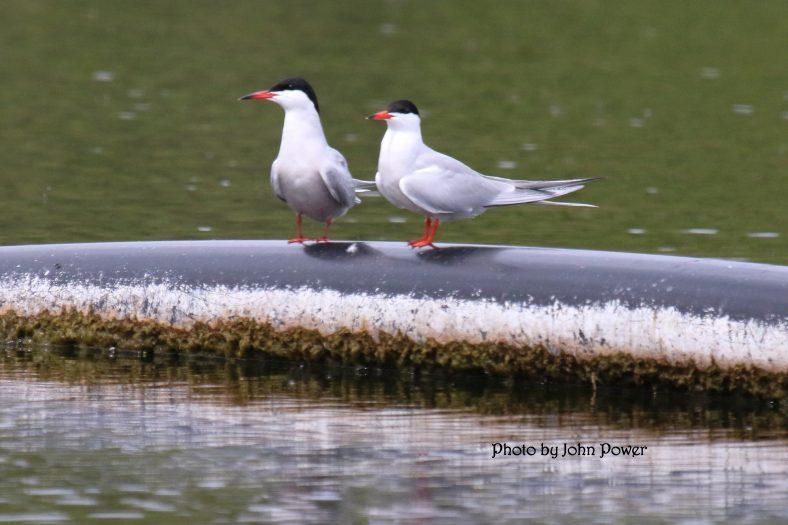 Roseate Terns at Ballybeg   John Power