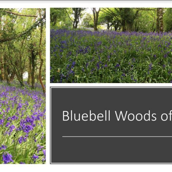 Bluebell Woods in Killone    Jean Ryan